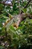 A Yellow Green Iguana in Sanibel Island, Florida. A herbivorous lizards camouflaging on top of a tree in Ding Darling National Wildlife Refuge stock photo