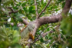 A Yellow Green Iguana in Sanibel Island, Florida. A herbivorous lizards camouflaging on top of a tree in Ding Darling National Wildlife Refuge royalty free stock photo
