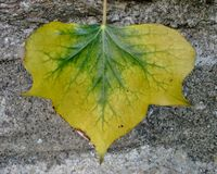 Yellow and Green Ivy Leaf Stock Photo