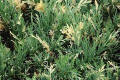Yellow-green juniper stock photography