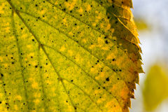 Yellow and Green Leaf Detail. Blue Sky Background, Macro Autumn Photo Stock Photos