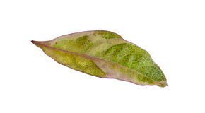Yellow green leaf isolated on white background Stock Image