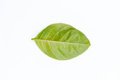 Yellow green leaf isolated on white background Royalty Free Stock Image