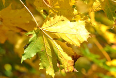 Yellow/Green leaf Royalty Free Stock Image