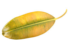 Yellow-green leaf of pipal Royalty Free Stock Photography