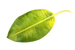 Yellow-green leaf of pipal Stock Photography