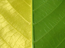 Yellow green leaf Stock Images
