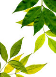 Yellow and green leaves Royalty Free Stock Image