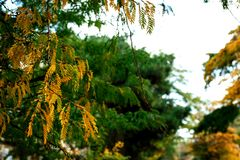 Yellow and green leaves of acacia on a white background royalty free stock photos