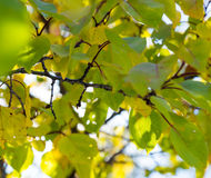 Yellow-green leaves of almond tree on branches in autumn. Stock Image