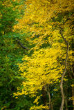 Yellow and green leaves in the autumn forest.  stock image