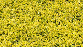 Yellow and green leaves background. In sunny day morning Stock Photography