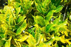 Yellow and green leaves. background.  Royalty Free Stock Photos