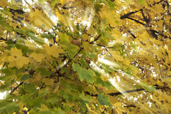 Yellow and green leaves light crossed. Yellow and green leaves natural light crossed Royalty Free Stock Images