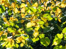 Yellow and green leaves of lime tree illuminated. By sun in forest in sunny day at the beginning of autumn royalty free stock images