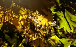 Yellow And Green Leaves Lit By The Sun Rays. Colorful Background. Autumn Golden Foliage.  stock image