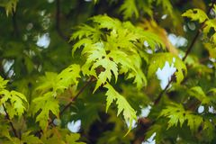 Yellow and green leaves. Outdoor royalty free stock image