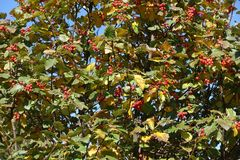 Yellow and green leaves and red berries of whitebeam. Tree royalty free stock image