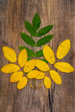 Yellow and green  leaves of rowan lying on a wooden board. Yellow and green  leaves of rowan lying on a rough wooden board Royalty Free Stock Images