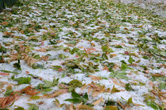 Yellow and green leaves of Siberian maple on the ground in the snow. Winter and autumn meet. Stock Photography
