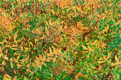 Yellow and Green Leaves of Spiraea Shrub Stock Photo