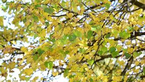 Yellow and green leaves on tree in autumn stock video
