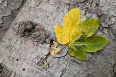 Yellow and green leaves on tree bark. A large and a small leaf fallen on a tree trunk in autumn Stock Photography
