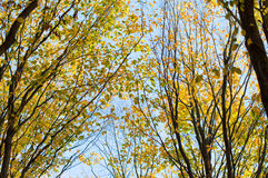 Yellow and green leaves of the trees against the blue sky Royalty Free Stock Image