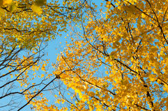 Yellow and green leaves of the trees against the blue sky Stock Photos