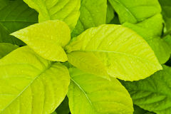 Yellow and green leaves Royalty Free Stock Photography