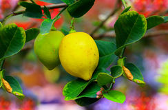 Yellow and green lemons Stock Photography