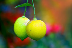 Yellow and green lemons Stock Photo
