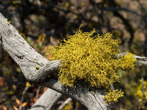 Yellow green lichen growing on dead branch Royalty Free Stock Images