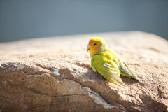Yellow green Little lovebird Stock Photos