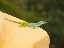 Yellow-green lizard. The background is blurred. Photographed in Cuba Royalty Free Stock Photography