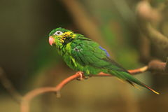 Yellow-and-green lorikeet Stock Photo