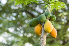 Yellow and green Mango fruits hanging from the tree Royalty Free Stock Photos