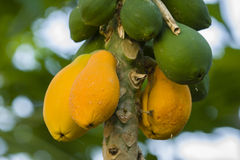 Yellow and green Mango fruits hanging from the tree Royalty Free Stock Photography