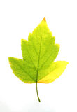 Yellow-green maple leaf,. Yellow-green maple leaf on a white background Royalty Free Stock Image