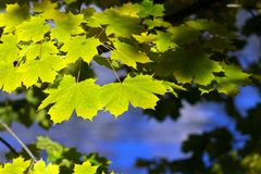 Yellow and green maple leafs Stock Photos