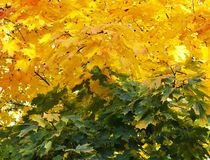 Yellow and green maple leaves autumnal background.Golden autumn.Fall season concept. royalty free stock photo