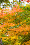 Yellow and green maple leaves in background formation, vertical Royalty Free Stock Image