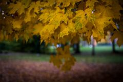Yellow and green maple leaves on a misty day in autumn royalty free stock photography
