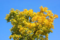 Yellow and green maple Royalty Free Stock Photography