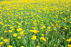 Yellow and green meadow at summer time Royalty Free Stock Photo