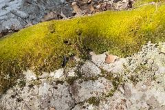 Yellow Green Moss on Catskill Mountain Boulder. A bright lemon yellow Moss growth on a boulder on the Eastern Catskill Escarpment in the Hudson Valley of New royalty free stock photos