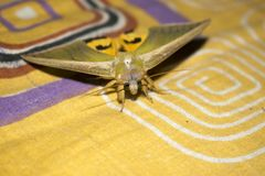 Yellow green moth on bed sheet moth background close up upper Royalty Free Stock Photography