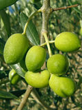 Yellow green olives in nature Royalty Free Stock Photography