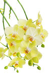 Yellow and green orchid flowers isolated on white Royalty Free Stock Photos
