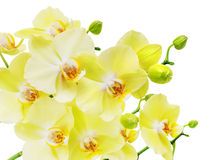 Yellow and green orchid flowers isolated on white Stock Image